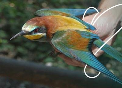 Projecte per descobrir els ocells que viuen a la ciutat des de la finestra de casa